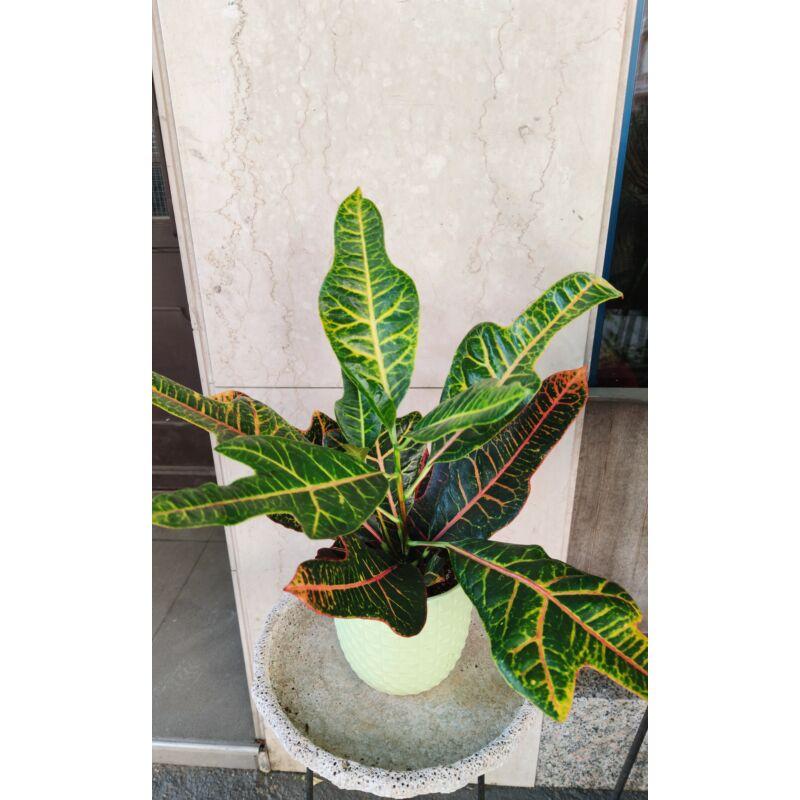 Kroton - Codiaeum variegatum
