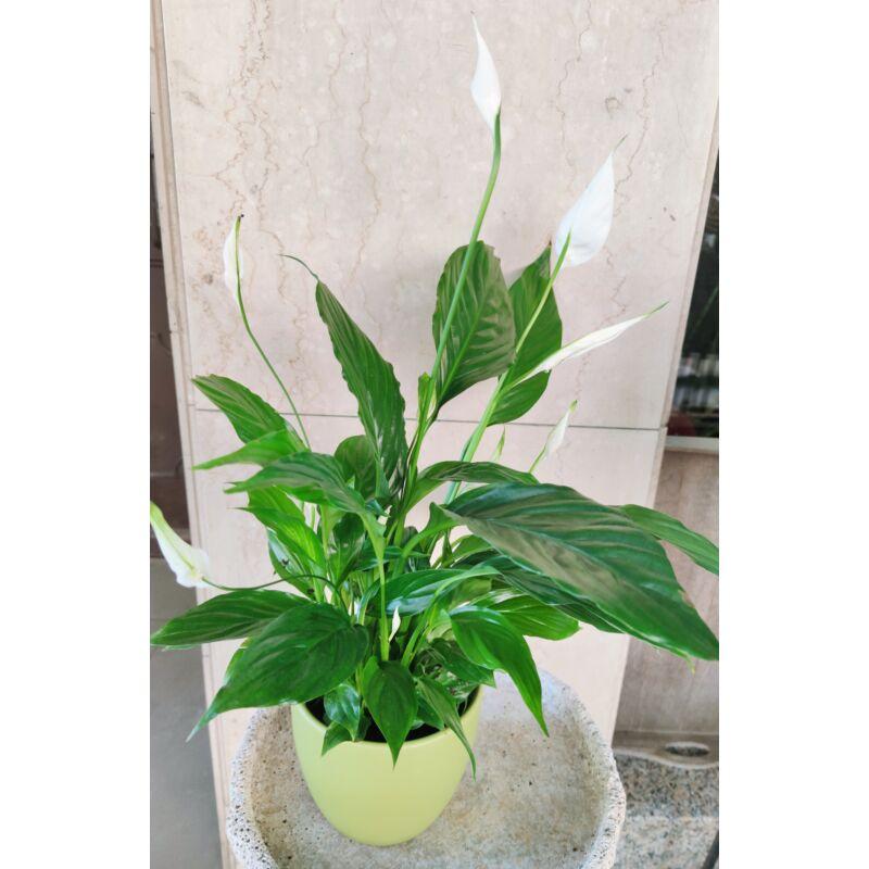 Vitorlavirág - Spathiphyllum wallisii