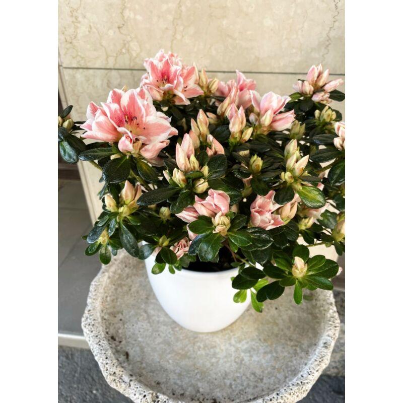 Szobai azálea - Rhododendron simsii