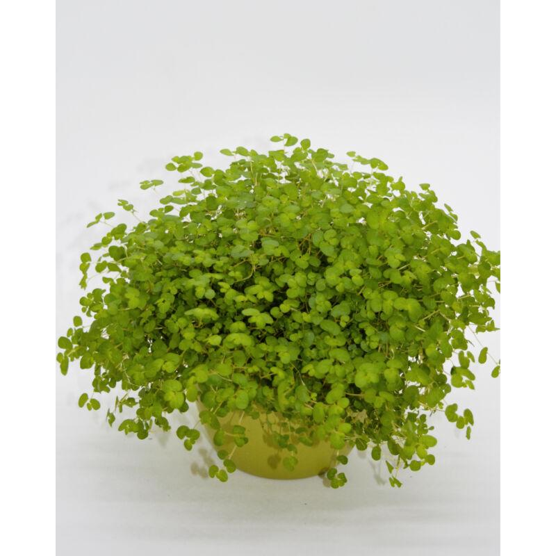 Háziáldás - Soleirolia soleirolii