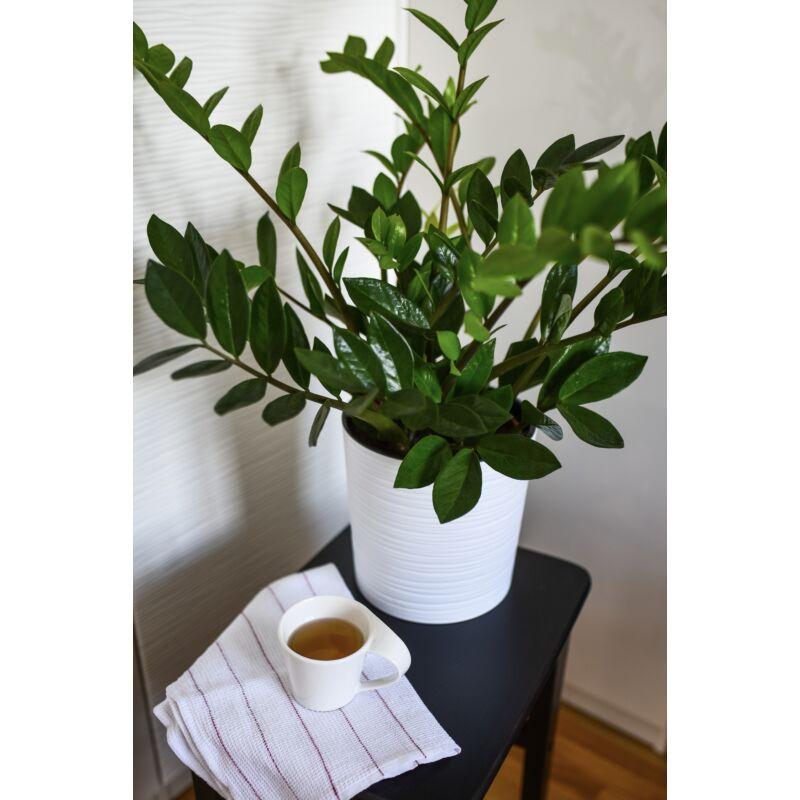 Agglegénypálma - Zamioculcas zamiifolia