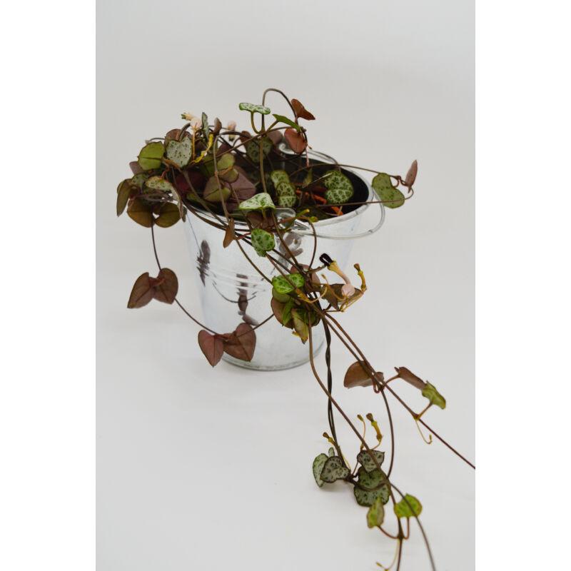 Ámpolna gyertyavirág - Ceropegia woodii