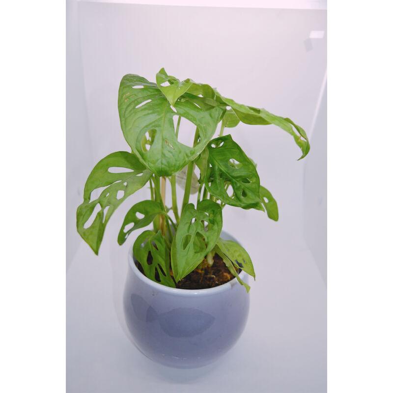 Könnyezőpálma - Monstera Monkey Leaf