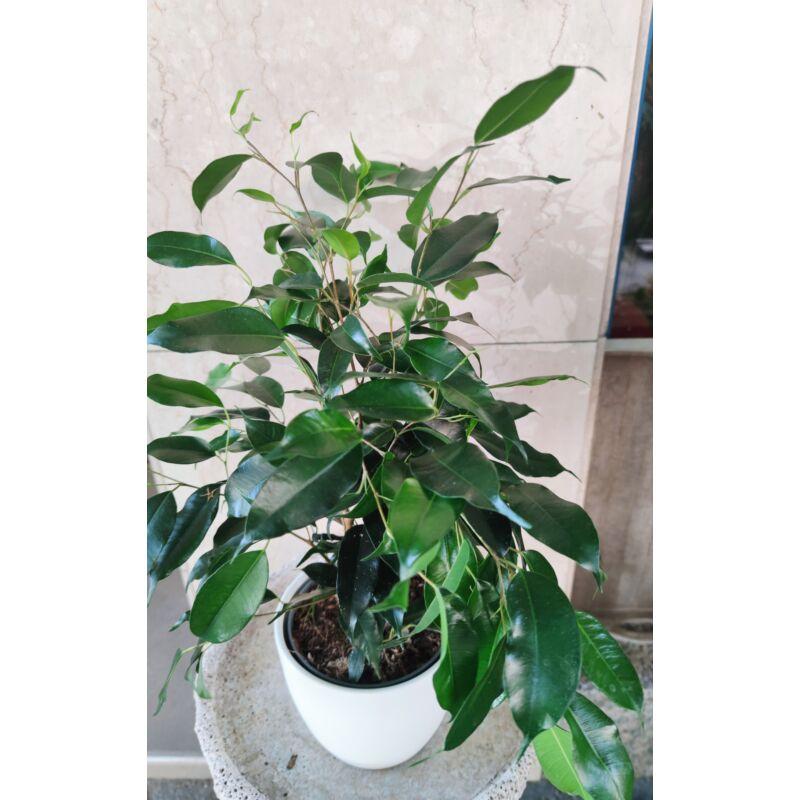 Csüngőágú fikusz - Ficus benjamina