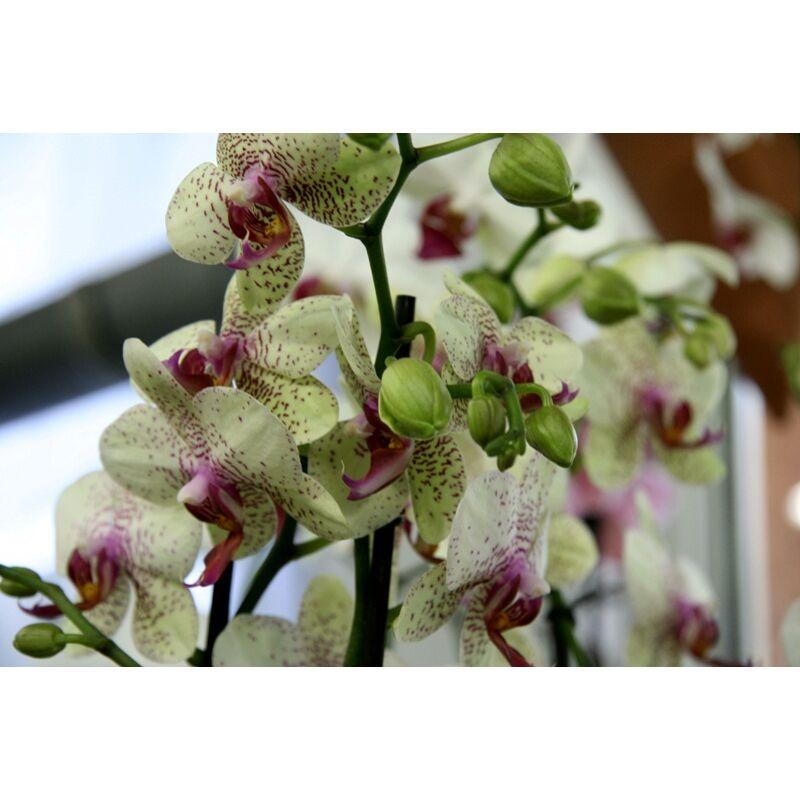 Orchidea - Phalaenopsis