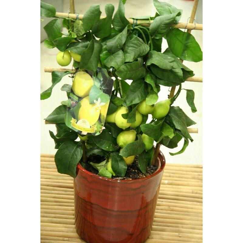 citromfa - citrus limon