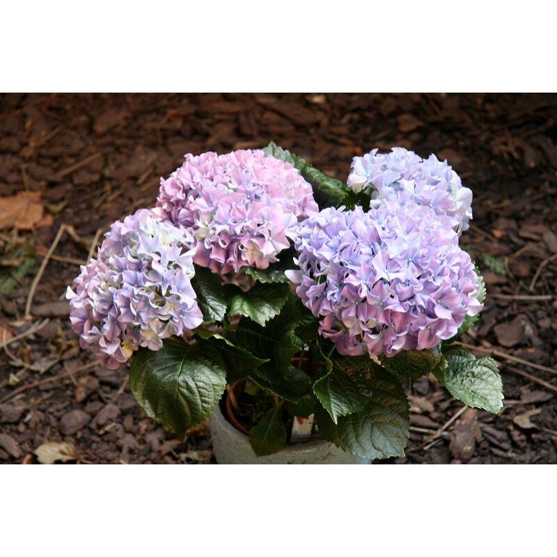 Hortenzia - Hydrangea sp.
